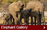 elephant-gallery