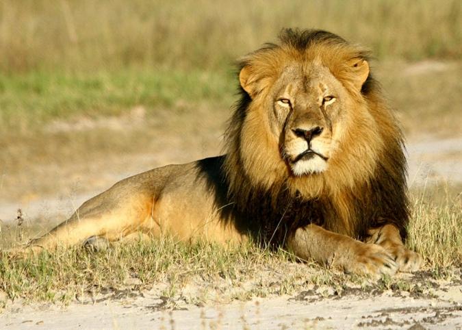 150730_SCI_Cecil_lion.jpg.CROP_.promo-xlarge2-675x482