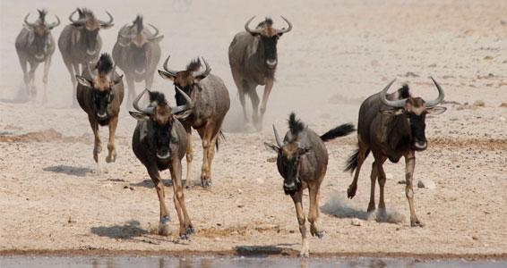 Blue wildebeest in etosha