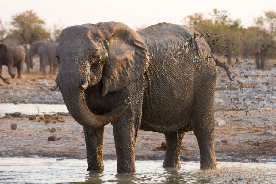 Namutoni elephant at waterhole