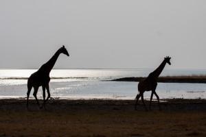 giraffe silhouettes at etosha pan