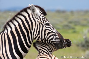 Motherly love Zebra in Etosha (1 of 1)