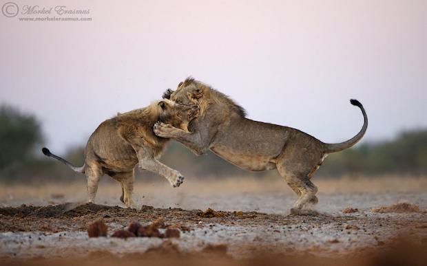 lions_playing_1a_Etosha_2013